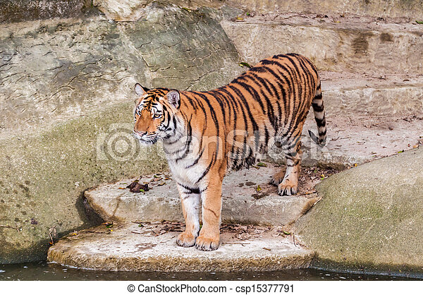 Bengal tiger standing on the rock near water - csp15377791