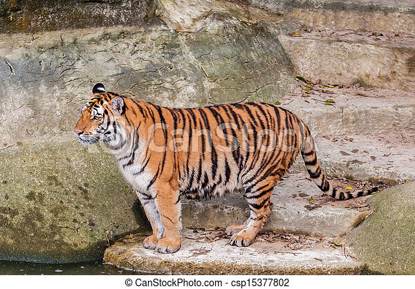Bengal tiger standing on the rock near water - csp15377802