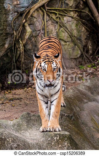 Bengal tiger standing on the rock - csp15206389