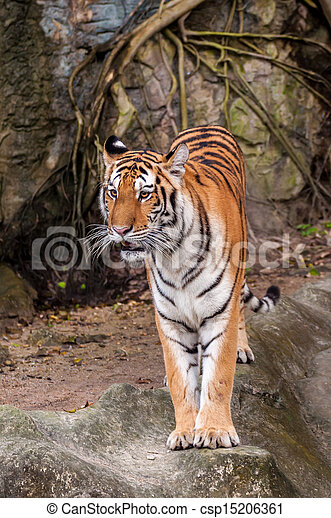 Bengal tiger standing on the rock - csp15206361