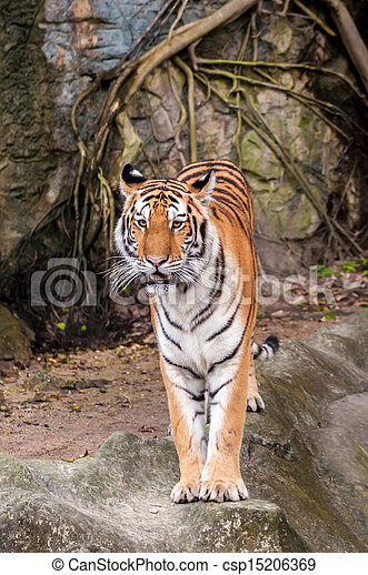 Bengal tiger standing on the rock - csp15206369