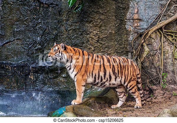 Bengal tiger standing on the rock - csp15206625