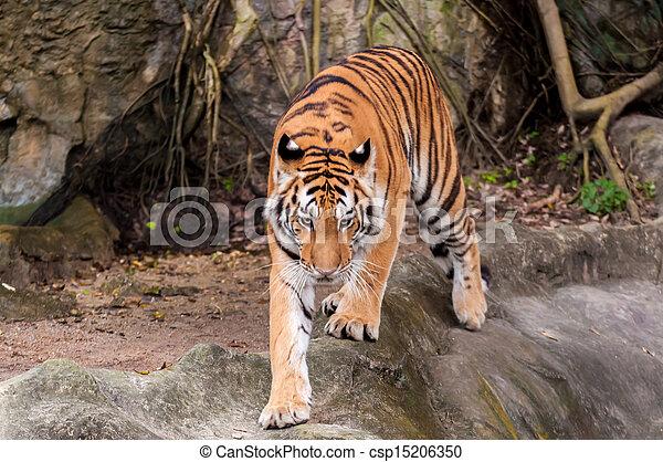 Bengal tiger walking on the rock - csp15206350