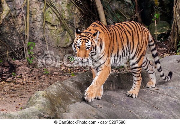 Bengal tiger walking on the rock - csp15207590