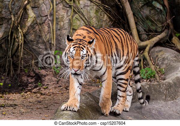 Bengal tiger walking on the rock - csp15207604