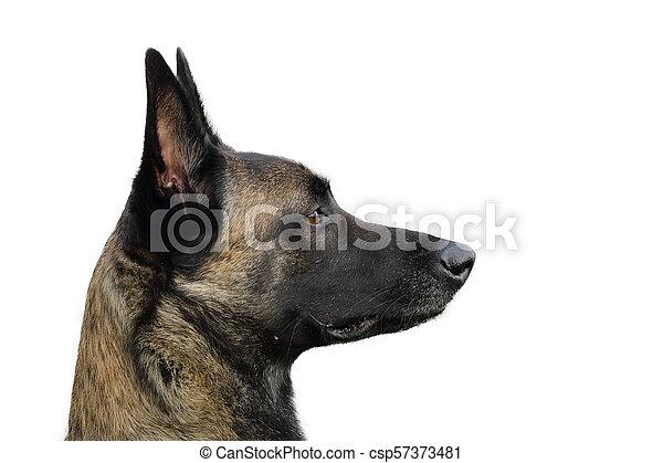 berger, regard, chien, figure, belge, vif, attentif, ordres, malinois, heureux - csp57373481
