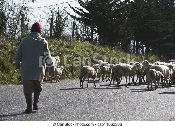 berger, sheeps, sien - csp11862386