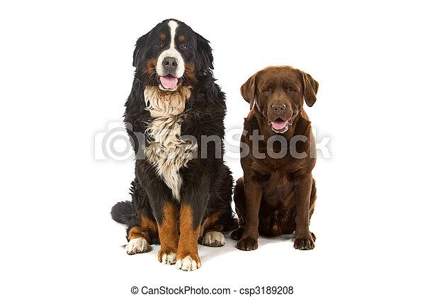 Bernese Mountain And Chocolate Labrador