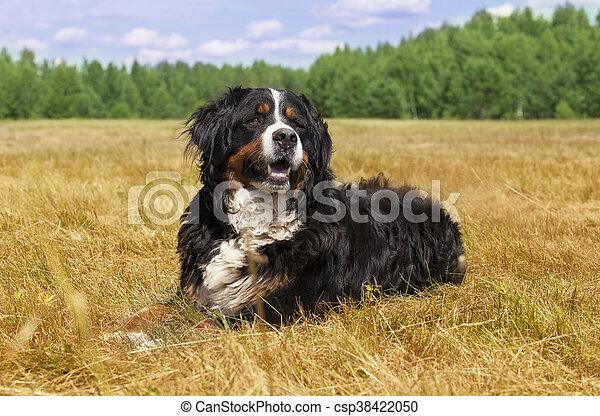 Bernese Mountain Dog outdoors - csp38422050