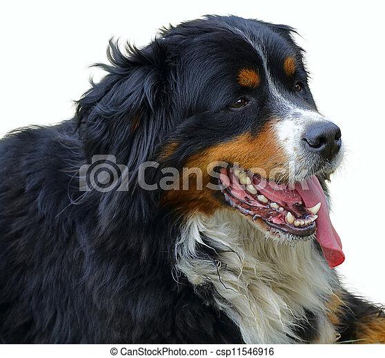 Bernese Mountain Dog - csp11546916