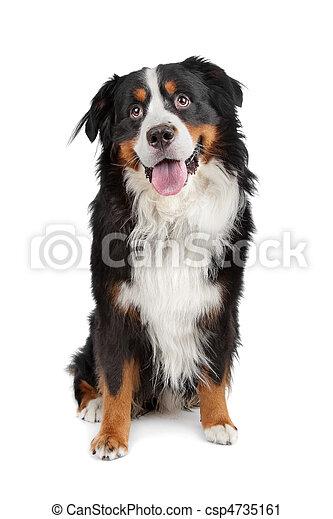 Bernese Mountain Dog - csp4735161