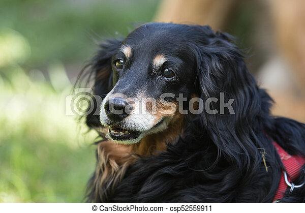 Bernese Mountain Dog - csp52559911