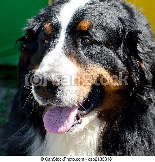 bernese mountain dog - csp21333181