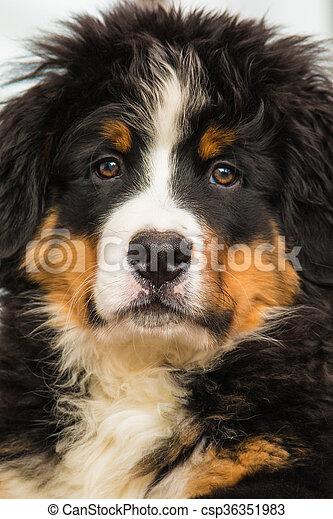 BERNESE MOUNTAIN DOG - csp36351983