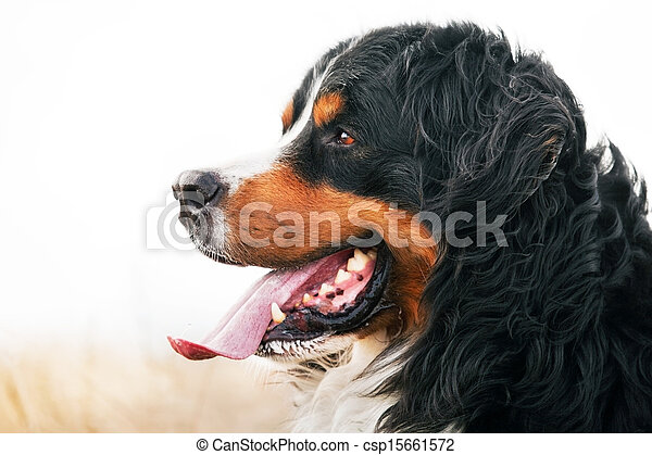 Bernese Mountain Dog portrait. Adult, purebred - csp15661572