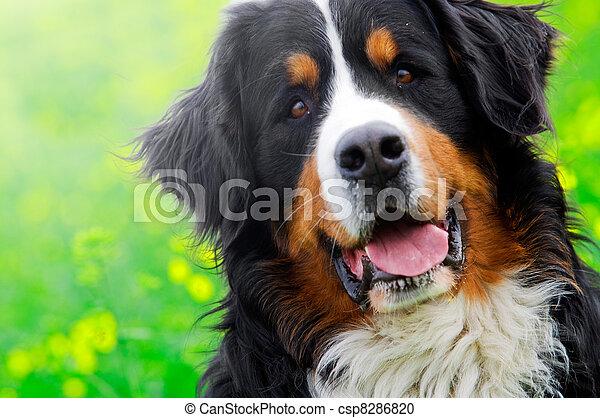 Bernese Mountain Dog portrait - csp8286820