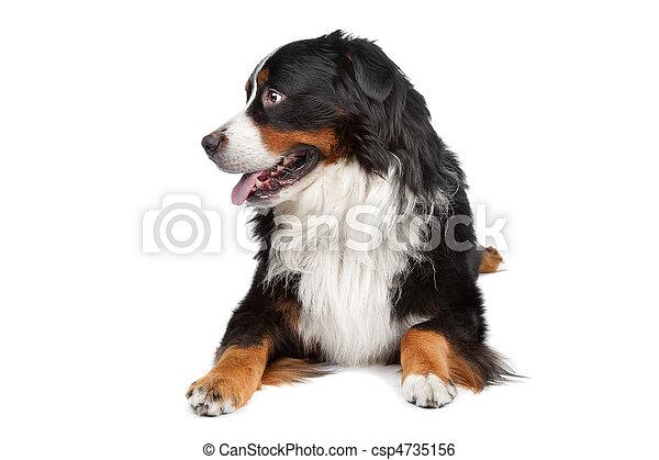 Bernese Mountain Dog - csp4735156