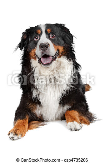 Bernese Mountain Dog - csp4735206
