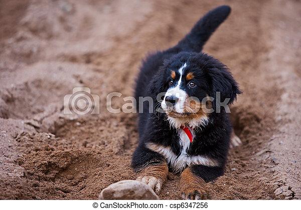 Bernese Mountain Dog - csp6347256