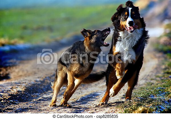 Bernese mountain dog  - csp8285835