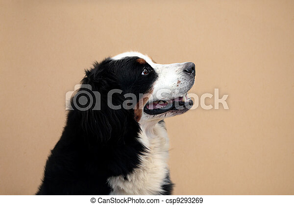 Bernese mountain dog - csp9293269