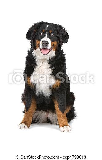 Bernese Mountain dog - csp4733013