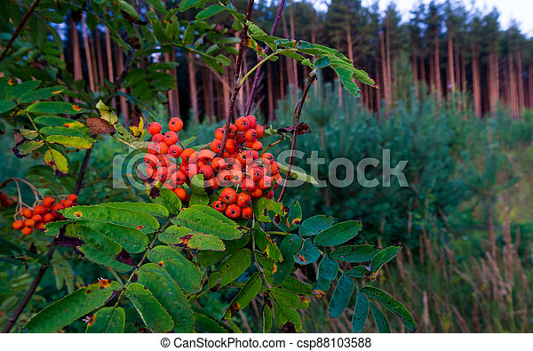 Berries and leaves of mountain ash in the forest. - csp88103588