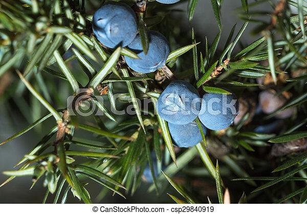 Berries of juniper. Shallow depth of field - csp29840919