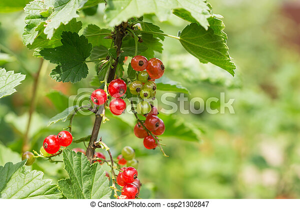 Berries of red currant on a branch in a sunny day - csp21302847