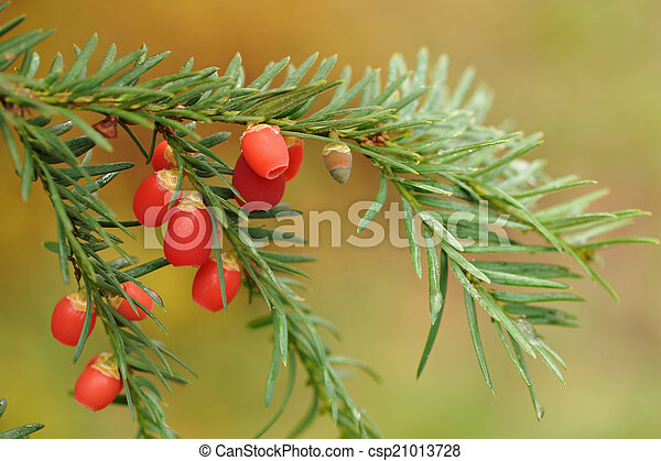 Berries of the European yew.  Taxus - csp21013728