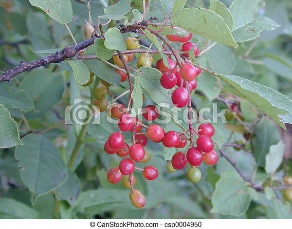 berries on a bush - csp0004950