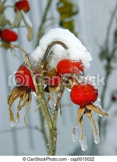 Berries under snow - csp0015022