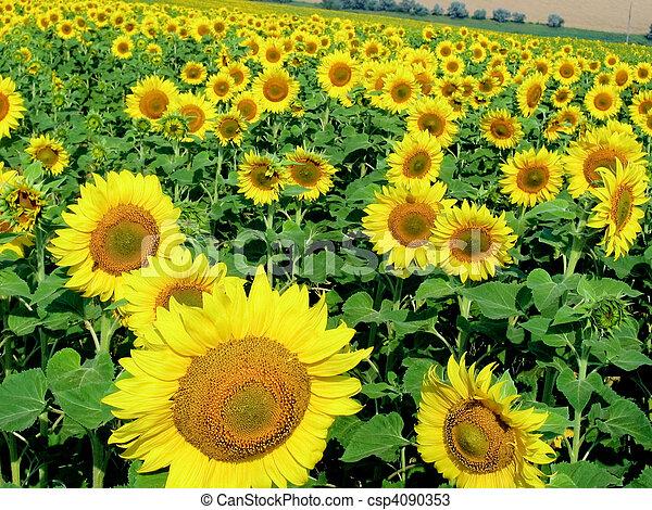 beschwingt, sonnenblumen - csp4090353