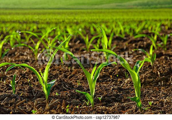 betriebe, getreide, junger, sonnig - csp12737987