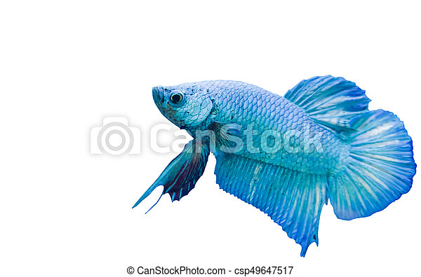 betta fish blue siamese fighting fish isolated on white background