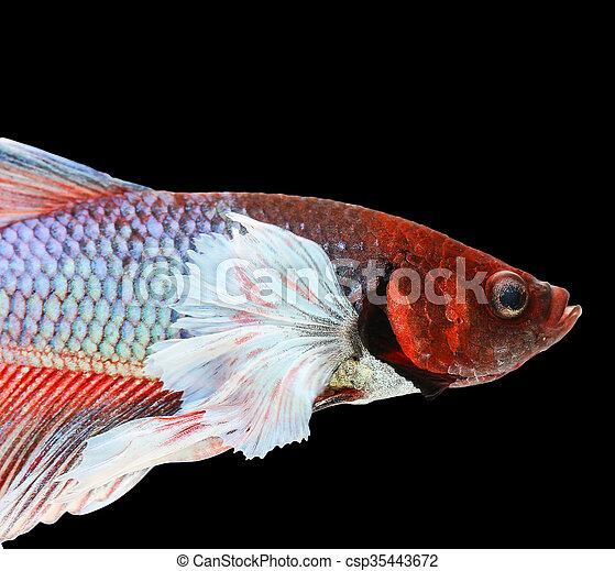 Betta fish, siamese fighting fish, betta splendens (Dumbo halfmoon betta,  )isolated on black background
