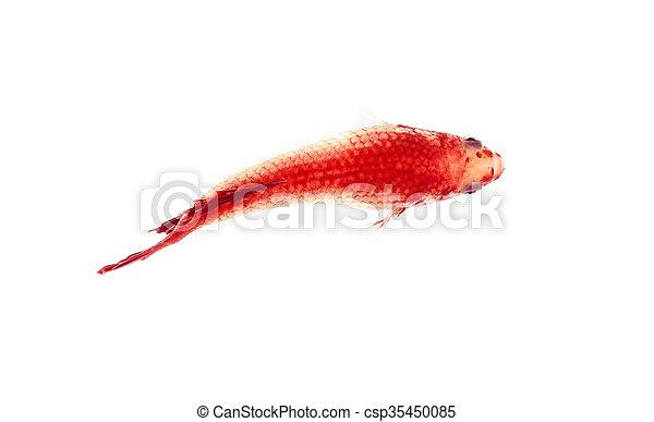 Betta fish, siamese fighting fish, betta splendens top view isolated on white background - csp35450085