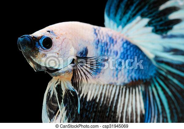 betta fish siamese fighting fish betta splendens halfmoon betta