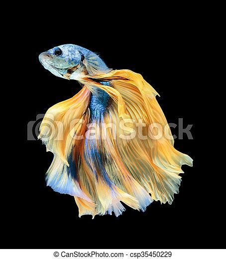 Betta fish, siamese fighting fish, betta splendens (Halfmoon betta )isolated on black background - csp35450229