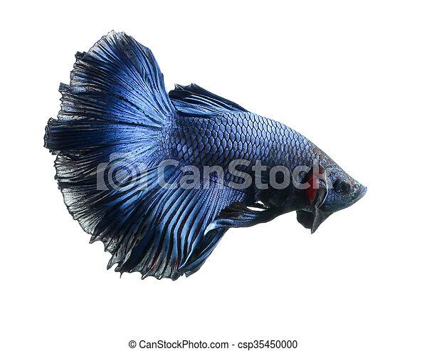 Betta fish, siamese fighting fish, betta splendens (Halfmoon betta )isolated on white background - csp35450000