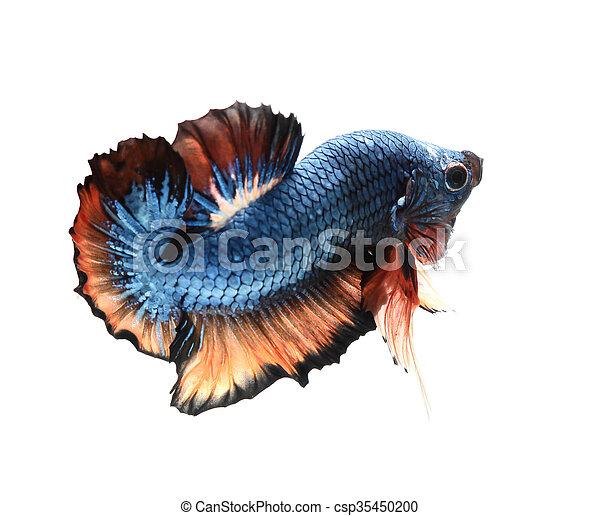 Betta fish, siamese fighting fish, - csp35450200