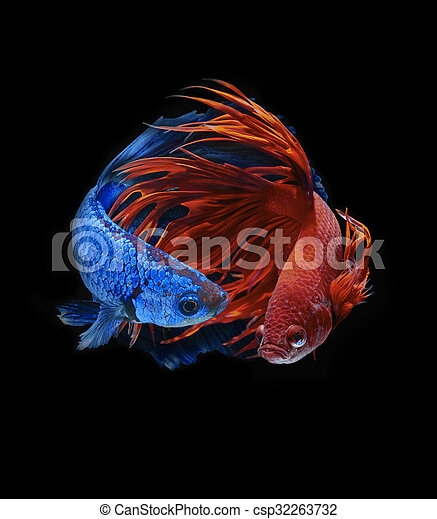 Betta fish, siamese fighting fish, betta splendens.