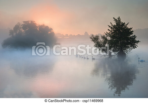Bevy herd of swans on misty foggy Autumn Fall lake - csp11469968