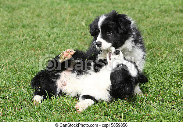 bezaubernd, collie, umrandungen, spielende , hundebabys - csp15859856