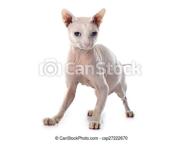 Bezwłosy Sphynx Kot Kot Sphynx Tło Przód Biały Bezwłosy
