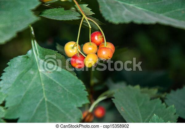 Biancospino, frutta. Properties., stress, biancospino..