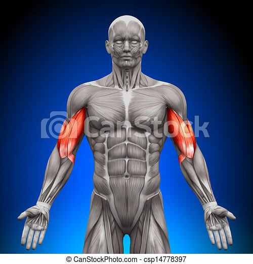 Biceps - Anatomy Muscles - csp14778397