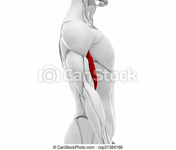 Biceps brachii - muscles anatomy map.
