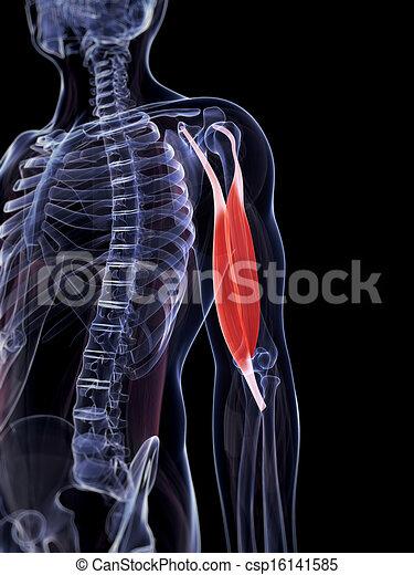 biceps - csp16141585