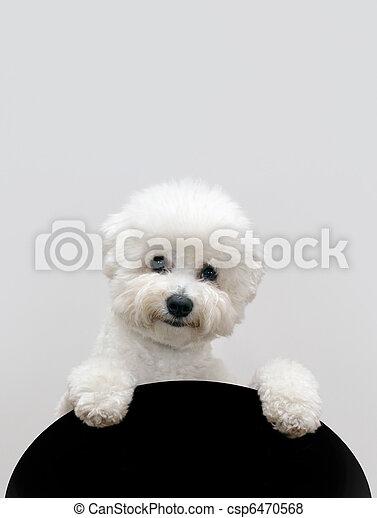 Bichon dog - csp6470568